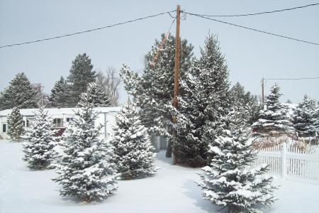 Abetos nevados en mi jardin