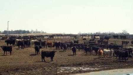 Vacas de nebraska